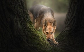 Картинка дерево, собака, овчарка