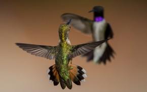 Картинка птицы, крылья, черногорлый архилохус, охристый колибри