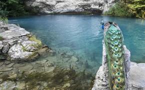 Картинка вода, горы, озеро, птица, павлин