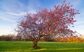 Картинка поле, дерево, цветение