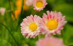 Картинка Весна, Spring, Маргаритки
