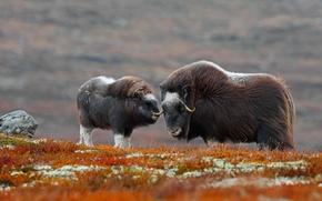 Картинка Норвегия, национальный парк, овцебык, Доврефьель-Сунндалсфьелла