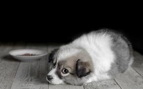Картинка взгляд, доски, собака, пол, щенок, корм, блюдце