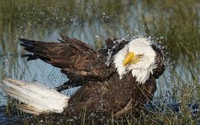 Картинка вода, птица, хищник, Белоголовый орлан