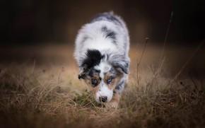 Обои осень, лес, собака, щенок, прогулка, пятнистый, австралийская овчарка, былинки, аусси