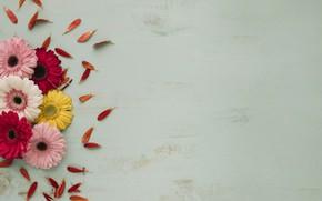 Картинка Цветы, Лепестки, Герберы