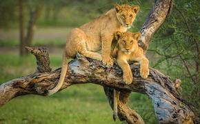 Обои коряга, львы, львята, парочка