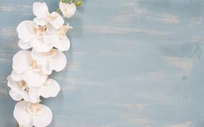 Картинка цветы, фон, Ветка, Орхидея