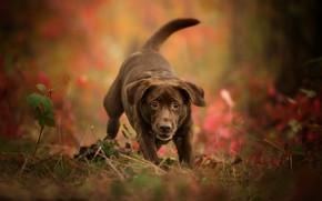 Обои боке, осень, Лабрадор-ретривер, щенок, собака