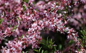 Картинка цветение, розовые цветы, декоративный миндаль