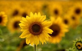 Картинка лето, подсолнухи, пейзаж, природа, тепло, ярко, солнечно