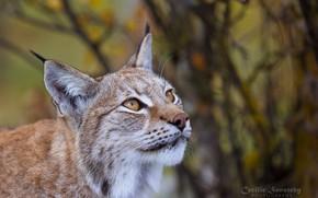 Обои портрет, взгляд, рысь, хищник, морда, смотрит, дикая кошка