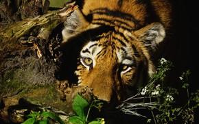 Картинка кошка, трава, взгляд, морда, свет, природа, тигр, темный фон, портрет, тень, коряга, дикие кошки, цветочки