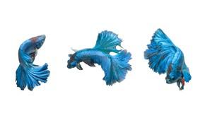 Картинка blue, fish, pose, betta