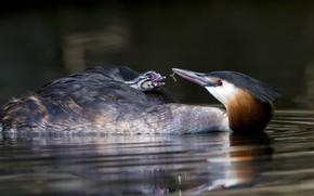 Картинка вода, птица, птенец