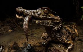 Картинка природа, фон, Paleosuchus trigonatus, Crowned dwarf caiman