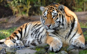 Обои камни, кошки, тигр, дикие кошки, фон, дикая природа, лежит, взгляд