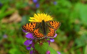 Обои цветок, Макро, Весна, Бабочка, Spring, Боке, Macro, Butterfly