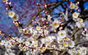 Картинка дерево, весна, цветение, слива