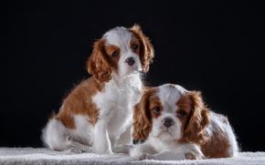 Обои щенки, кинг чарльз спаниель, малыши