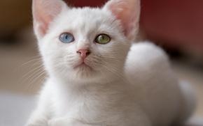 Картинка кошка, белый, взгляд, портрет, котёнок