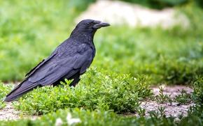 Картинка трава, птица, ворон