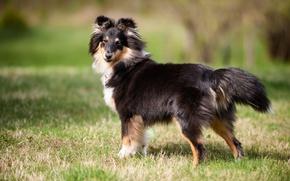 Картинка друг, shetland sheepdog, шелти, взгляд, собака