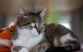 Обои кошка, кот, киса, коте