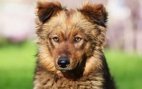Картинка взгляд, морда, собака, дворняга