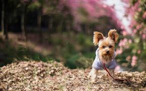 Картинка природа, одежда, собака, весна, размытость, сад, щенок, рыжая, кофточка, собачка, цветение, малышка, йорк, маленькая, боке, ...