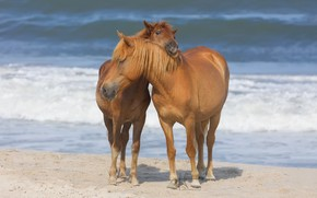 Картинка море, побережье, лошадь, грива, окрас