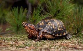 Картинка черепаха, сосна, панцырь