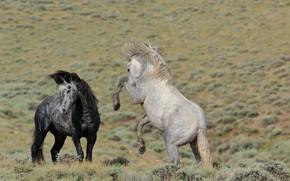 Картинка кони, лошади, драка, пара, дикие, разборка, ссора, выяснение отношений, тёмно-серый, светло-серый
