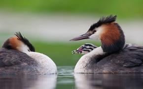 Картинка птица, птенец, чомга, большая поганка
