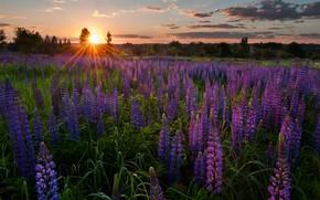 Картинка закат, цветы, луг, Россия, люпины