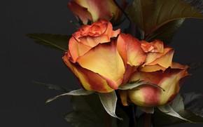Картинка цветы, розы, лепестки роз, романтические, картинка для поздравлений, картинка для открытки
