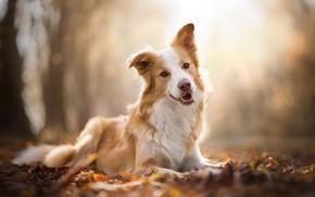 Обои боке, Бордер-колли, осень, собака