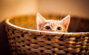 Обои глаза, кот, котенок, корзина, выглядывает