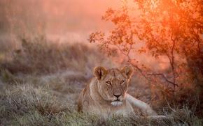 Картинка закат, львица, дикая природа