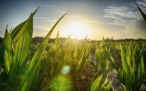 Картинка солнце, свет, блики, ростения, плантация