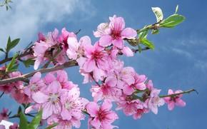 Обои небо, цветение, mamala ©, ветка, персик, цветы
