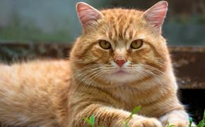 Обои кот, лапы, котэ, Васёк, морда, рыжий, природа, полосатый, фон, лежит, желтоглазый, кошка, взгляд, портрет