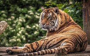 Картинка кошка, природа, тигр