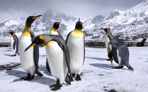 Обои горы, снег, королевские пингвины, пингвин, пингвины