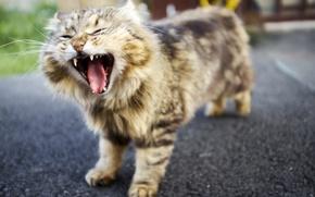 Обои кот, фон, зевает