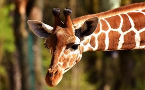Картинка животное, голова, жираф, шея, рожки