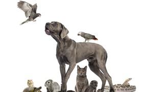 Картинка коллаж, коты, змея, кролик, попугай, щенок, дог, хоияк