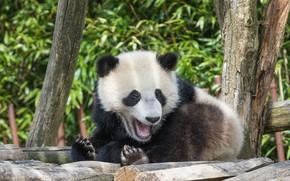 Картинка природа, отдых, Панда, мишка, зоо