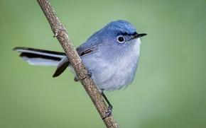 Картинка птица, ветка, клюв, хвост, голубая комароловка