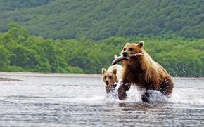 Картинка лес, вода, брызги, природа, фон, прыжок, рыба, медведи, бег, охота, два, водоем, дикая природа, добыча, ...